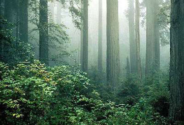 where is the redwood forest location facts history study com