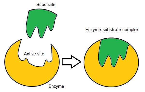 induced fit enzyme model definition  theory  video  lesson, schematic