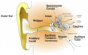 Semicircular canals function definition video lesson say what ccuart Gallery