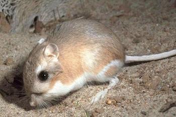 Kangaroo Rat Facts Lesson For Kids Study Com