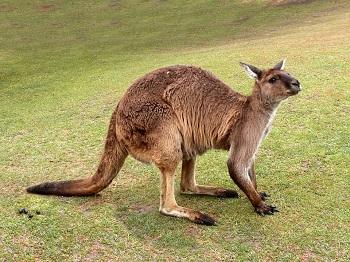 A Kangaroo Tail Helps It Stay Balanced