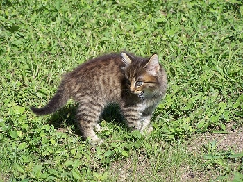 Behavior determines whether a cat is domestic or feral.