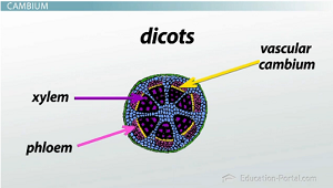 Vascular tissue in dicots