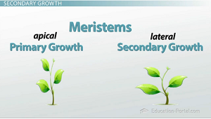 Lateral Meristem & Secondary Shoot System Growth - Video ...