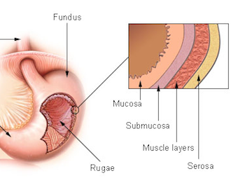 Layers of the Stomach