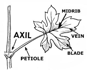 Parts of a Leaf: Lesson for Kids - Video & Lesson Transcript ...