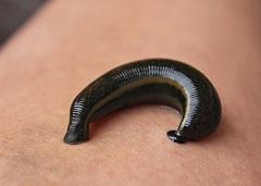 How do earthworms reproduce sexually or asexually