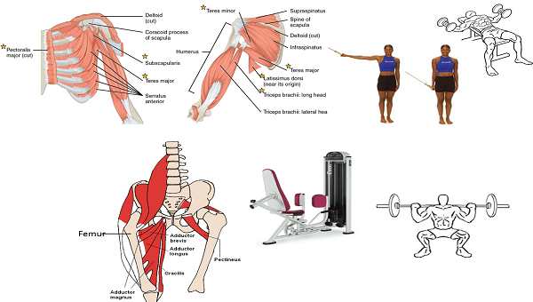 Abductor Muscles Exercises Muscles And Exercises of