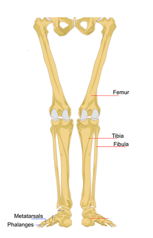long bones in the human body | study, Sphenoid