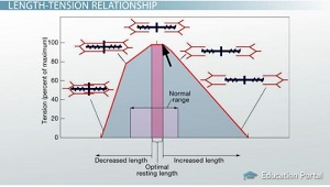 what is the relationship between length and tension