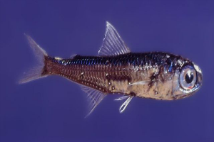At Six Inches Or Less, Lanternfish Are Pretty Tiny.