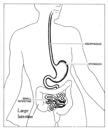 Large Intestine Lesson For Kids Function Facts