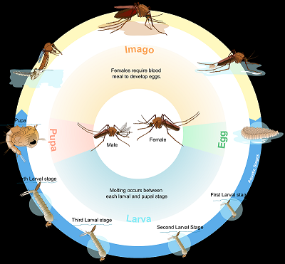 Life Cycle of Ant