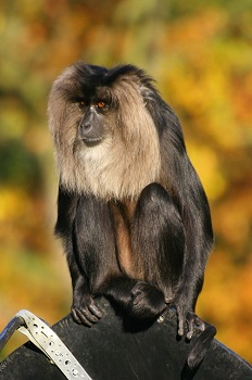 Lion-Tailed Macaque: Facts, Habitat & Locomotion | Study com