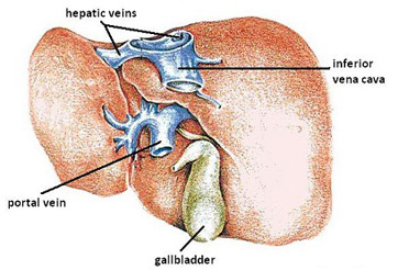 What is hepatitis definition types symptoms treatment study hepatitis a ccuart Choice Image
