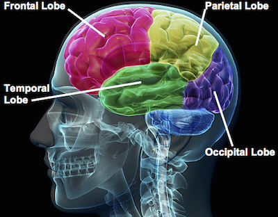 Research Paper Chapter Parts Of The Brain - image 6