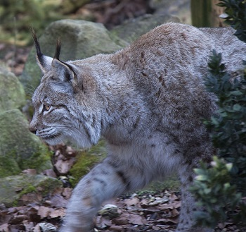 lynx facts lesson for kids study com
