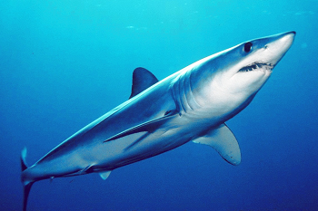 Mako Shark Facts Lesson For Kids Study Com