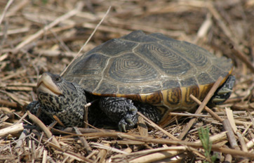 Maryland Terrapin Turtle