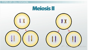Meiosis Ii Definition Stages Comparison To Meiosis I Video