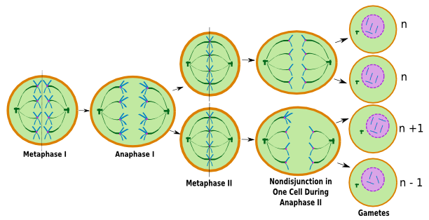 meiosis vs mitosis essay example Mitosis vs meiosis in notebook see more largest database of quality sample essays and research papers on conformity compliance obedience discover (and save) your own pins on pinterest chart meiosis vs mitosis chart.