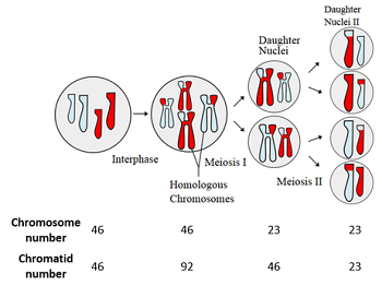 Overview of reductional equational cell division in meiosis diagram ccuart Choice Image