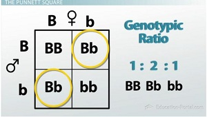 how to write out genotype ratio