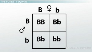 Mendel First Law Punnet Square
