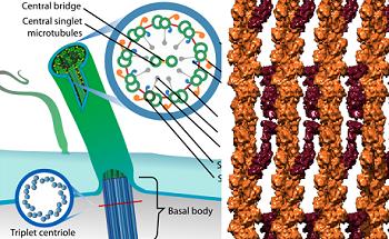microvilli vs cilia structure \u0026 size video \u0026 lesson Cilium Microvilli Diagram cilium definition, function and