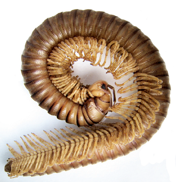 Millipede Facts Lesson For Kids Study