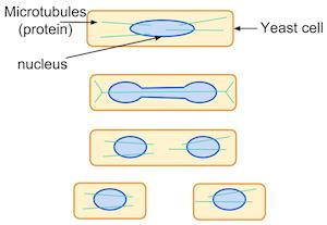 mitosis in yeast