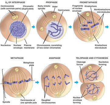 The last stage of interphase followed by the stages of mitosis
