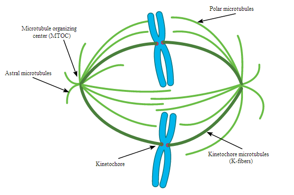 Microtubules definition functions structure video lesson separation of sister chromatids during division ccuart Images