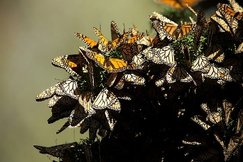 Adult monarch butterflies migrate to Mexico in the fall and cluster together on trees for the winter.