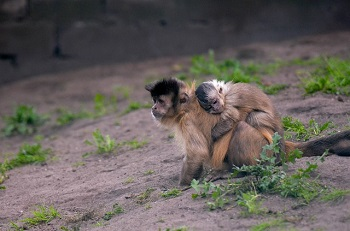 Baby monkey on the back of its mother