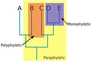 Paraphyletic group definition overview video lesson descendants d and e in purple represent a monophyletic group descendants b and c together in orange represent a polyphyletic group ccuart Image collections