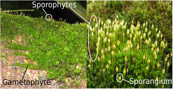 Moss Gametophytes and Sporophytes with Sporangia