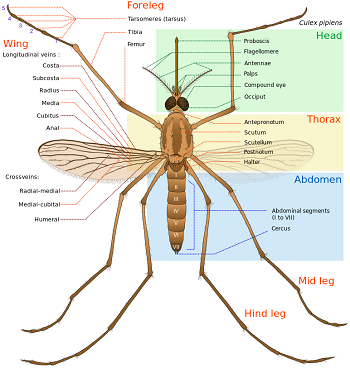 Mosquito structure life cycle study mosquito parts ccuart Images