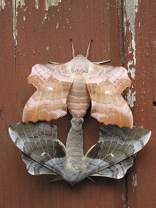 moth reproduction