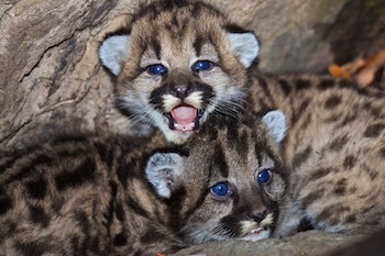 baby cougars