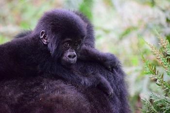 mountain_gorilla_baby_on_mom mountain gorillas life cycle, mating & lifespan study com