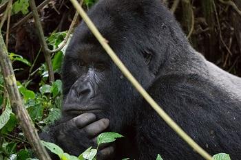 mountain_gorilla_silverback mountain gorillas life cycle, mating & lifespan study com