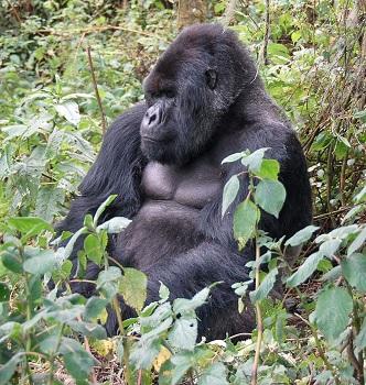 mountain_gorilla_sitting mountain gorilla food web diet, prey & predators study com