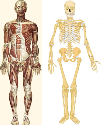 parts of the musculoskeletal system