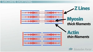 blank sarcomere diagram muscular contraction: cross-bridge formation - video ...