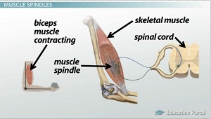 Muscle Spindles Send Info