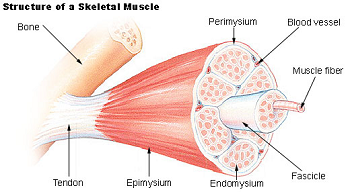 Homework help muscular system
