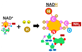 NADH structure