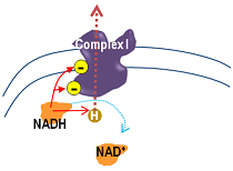 NADH gives H and e- to Complex I