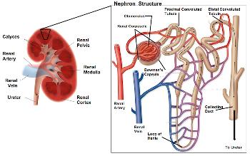Image result for loop of henle diagram